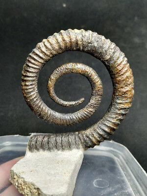 T389- Top Grade 3.43´´ ANETOCERAS Early Devonian Ammonite Free Standing Display