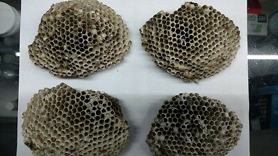 """Set Of 4 Real & Authentic South Georgia Red Wasp Nest 5"""" X 4"""""""