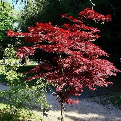 RED-LEAVED JAPANESE MAPLE (Acer Palmatum Atropurpureum) 10 seeds (#457)