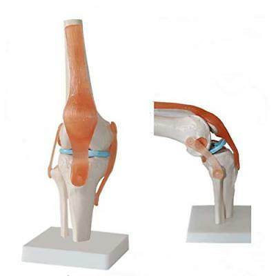 1:1 Size Human Knee Joint Simulation Model Medical Anatomy Education Model