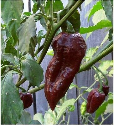 Bhut Jolokia Chocolate 20 semi di peperoncino VERY HOT + GUIDA ALLA COLTIVAZIONE