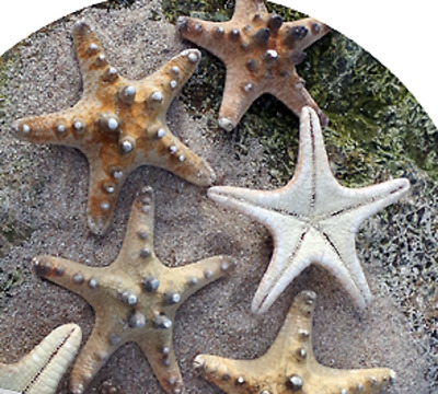 SET OF 5 Real Natural Knobbly Starfish Small 4cm - 6cm Miniature Nautical Shells