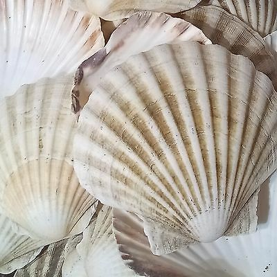 6 x Large Natural Scallop Shells Sea washed 100% Natural UK Scallop Shell 7-12cm