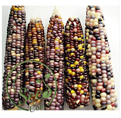Seeds Rainbow Corn Vegetable Corn Without GMO Plants Organic Bonsai 20 Pcs