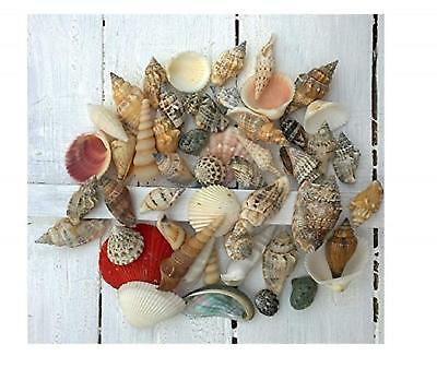 150g Seashell Mix Small Assorted Shell Selection Nautical Accessory 50 Shells