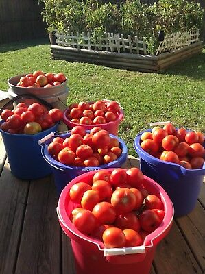 30 Early Siberian Tomato Seeds. Russian Heirloom. Non-GMO. New For 2019.
