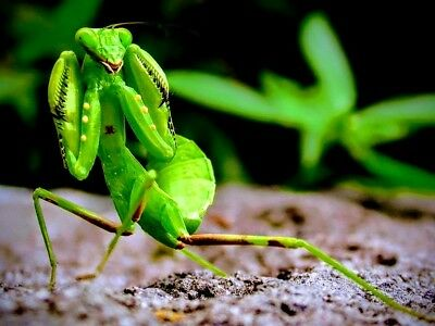 1X Giant African Praying Mantis Ootheca Eggsack. Heatpack Included.