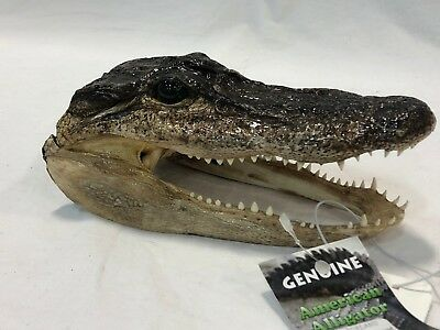 "7.5"" Real Genuine American Alligator Head Taxidermy"