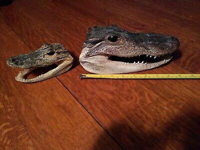 Two Real Florida Alligator Heads