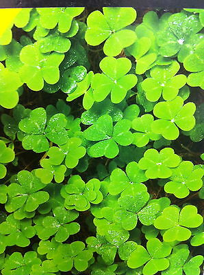 Irish Clover Shamrock seeds with free complimentary bookmark new year gift