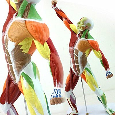 Human Body Muscle Model Sports Muscle Human Anatomy System Medical Art Model