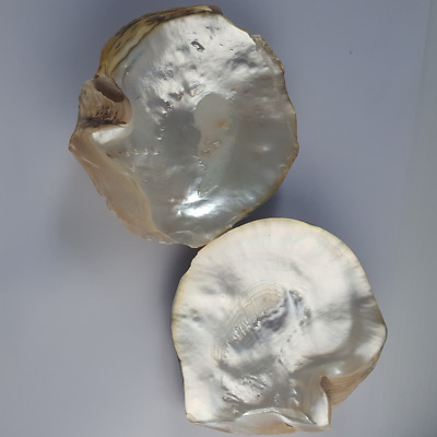 7'' Natural Pearl Shell Decorative Plate Jewelry Trinkets Clams Real Seashells