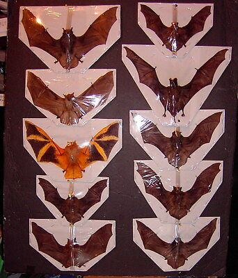 Bat Taxidermy 10 Lot 9 Species Displayed  Flying Position Some Hard to find