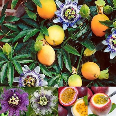 10/20/50 Pcs Passiflora passion seeds bonsai flower seeds for garden 9G67