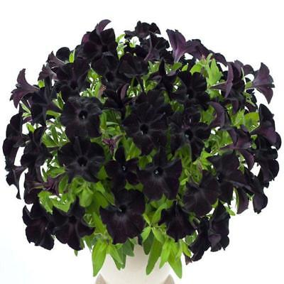 10/20/50pcs Black Petunia Seeds Annual Bonsai Flower Seeds Home Garden 9G67