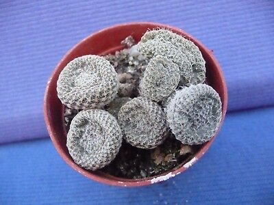 JU182. Puna clavaroides, white spines, own roots!!!