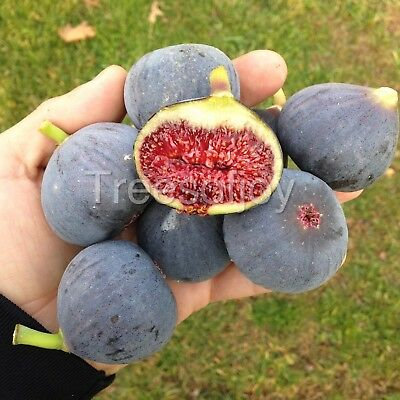 """Fig Tree cuttings """"Bass' Favorite""""  Excellent black fig, 2 cuttings"""