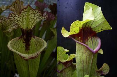 Sarracenia seeds, Leah Wilkerson x willisii hybrid, two giants! 30 seeds.