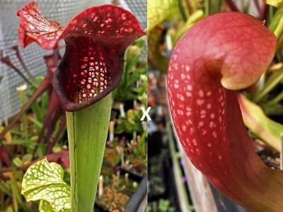 Sarracenia seeds, x excellens x Ladybug,  30 seeds.