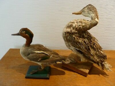 Antique Taxidermie Bird Oiseaux Lot De 2 Canards Bon Etat !!!
