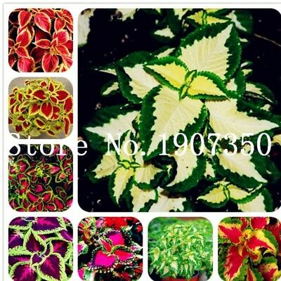 Coleus Rainbow Blumei Seeds Plants Bonsai Japanese Flower For Rare Home 200pcs