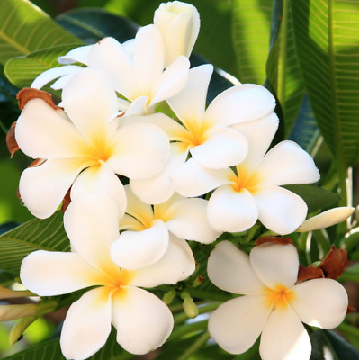 PLUMERIA Tree - Live Plant - Fast Growing Flowering Succulent with Care Sheet!