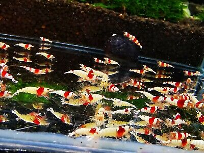 10 X  ADULTS Red Cherry Very easy freshwater shrimp 20-25 millimeters