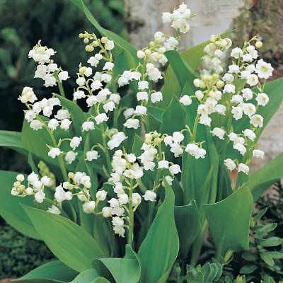 Bolly Bulbs®  Convallaria majalis - Lily of The Valley … Roots, White Flowers.