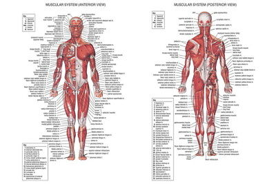 "001 Human System - Body Anatomical Chart Muscular Skeletal 36""x24"" Poster"