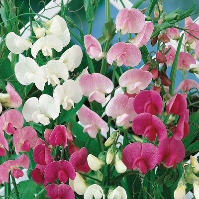 EVERLASTING PEA (Lathyrus Latifolius mix) 30 seeds (#1790)