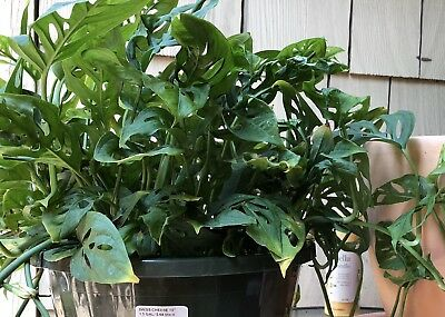Monstera adansonii Swiss Cheese Plant x1 Cutting - FREE POSTAGE