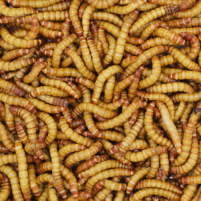 100 Giant Mealworms Live - Free Shipping