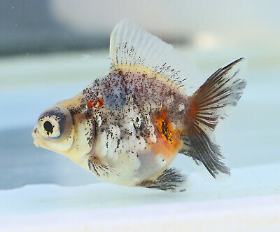 FANCY GOLDFISH - 7/8cm Kirin Calico Dragon Eye (9) - Courier Available