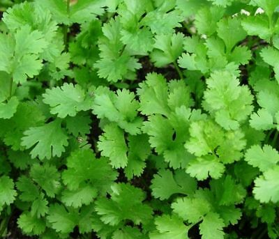 Herb Coriander Approx 150 Seeds Free UK Postage