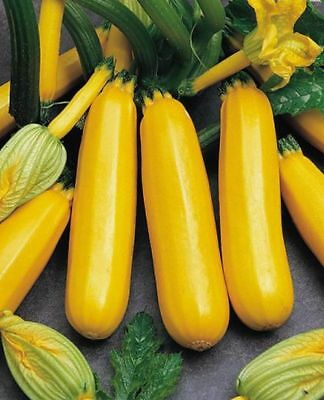 Vegetable Courgette Atena F1 Approx 5 Seeds Free UK Postage