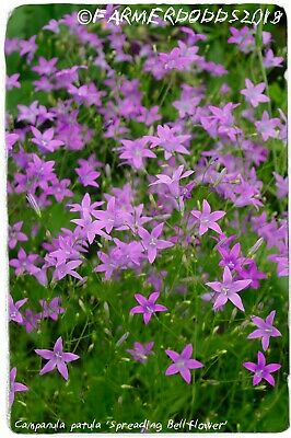 Ex. Somerset Campanula trachelium /'Nettle-leaved Bellflower/' 1000 SEEDS