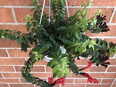 Curly Lipstick Plant/ Aeschynanthus radicans x1 Cutting - FREE POSTAGE