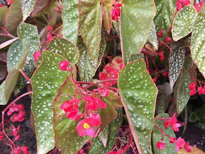 Angel Winged Cane Begonia Easy House Plant Beautiful Leaves Pink Blooms