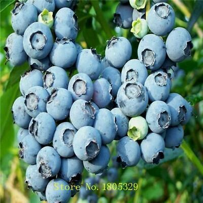 100 Seeds Blue Berry Vaccinium Myrtillus Northern Highbush Blueberry seeds