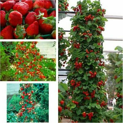 red climbing strawberry & rare color strawberry Seeds fruit seeds 100 seeds