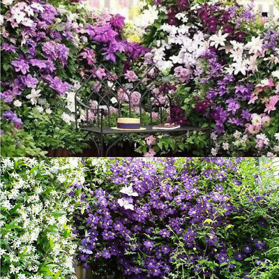 50Pcs Mixed Color Clematis Flower Seeds Garden Balcony Climbing Plants Seeds CAL