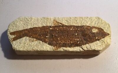 50 Million Year Old Fossil Fish Knightia SP Green River Formation Wyoming Eocene