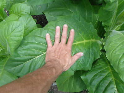"1000+ TOBACCO SEEDS -- Heirloom ""HICKORY PRYOR"" (Virginia Gold type) -- RYO Org."