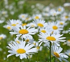 Marguerite Ox Eye Daisy ~100 Graines~