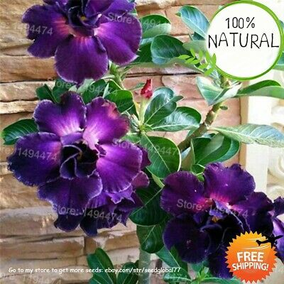 Genuine Desert Rose Seeds Plants Rare Adenium Obesum Flower Bonsai As 4pcs