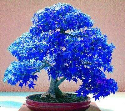 20 Seeds Real Japanese Ghost Blue Maple Tree Bonsai Seeds/Pack,Acer palma (JPN8)
