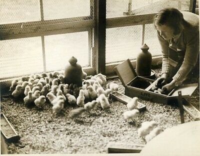 Lewes Chicks born Easter Conybere Poultry Farm Lord Monk Bretton old Photo 1929'