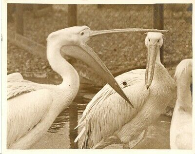 grande photo Feathered orator Pelican London Zoo Large vintage Photo 1933