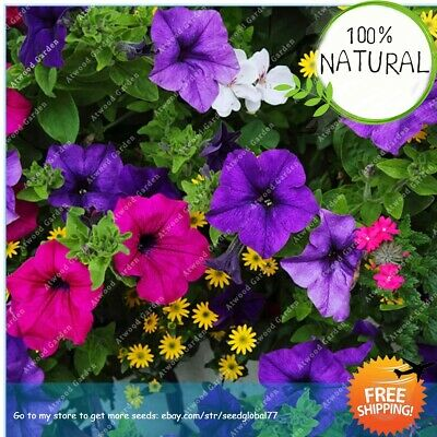 Exotic Climbing Morning Seeds Plants Glory Flower Bonsai Outdoor For Rare Home