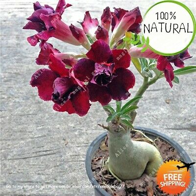 Desert Rose Flower Seeds Plants Bonsai Perennial Exotic Tropical Garden Rare